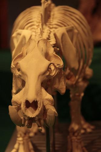 コビトカバの骨格標本